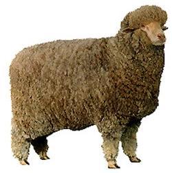 Delaine Merino Sheep